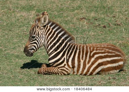 baby zebra in national park