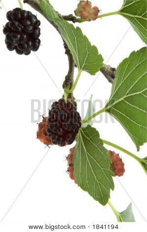 Mulberry Branch On White
