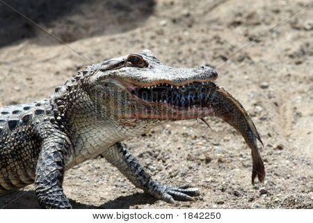 Alligator With Fish