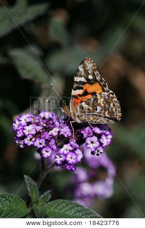 Schmetterling auf Blume - Makro erschossen
