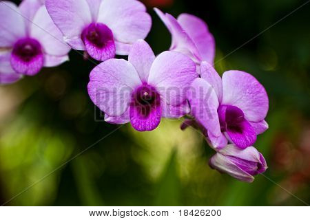 Vibrant purple tropical orchid flower