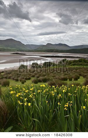 landscape ireland yellow flowers green meadow estuary sea mountains and clouds at brandon bay Dingle shannon kerry district