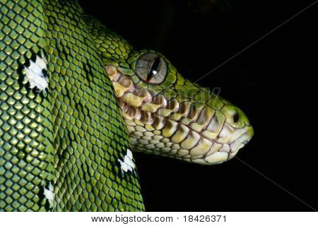 emerald boa in the Bolivian amazon rainforest jungle snake rain forest animal snake amazon green snake and tree snake jungle reptile black background with copy space animal eyes