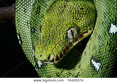a close-up portrait of an emerald boa in the Bolivian rainforest snake amazon jungle green snake beautiful animal or reptile eye