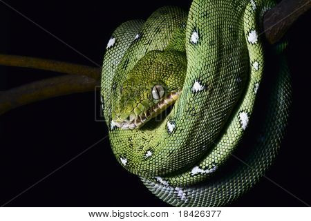 green tree snake emerald boa in the Bolivian rainforest strangler serpent of amazon rain forest at night on branch endangered reptile nocturnal animal treesnake black background copy space