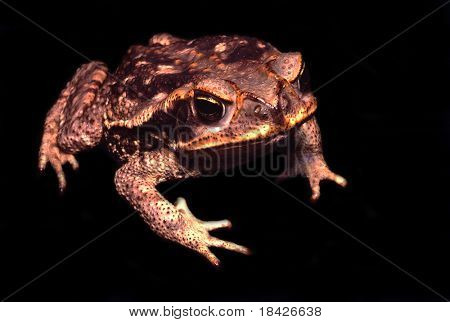 Cane toad on a black background