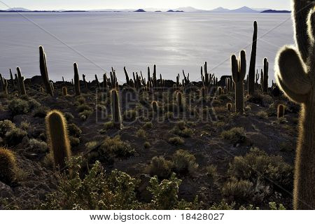 cactus at isla pescado salar de uyuni Bolivia silhouette in the setting sun backlit rocks in the andes dry desert at altiplano giant plants