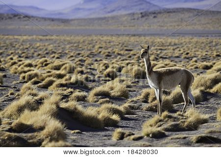 vicuna in the pampas of the Bolivian altiplano ancestor of the llama and the alpaca a south american wild camel beautiful landscape