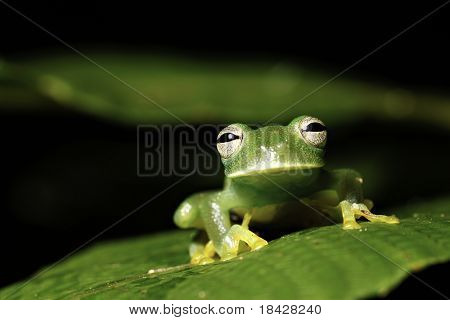 amphibian frog green rainforest jungle tropical copy space at night