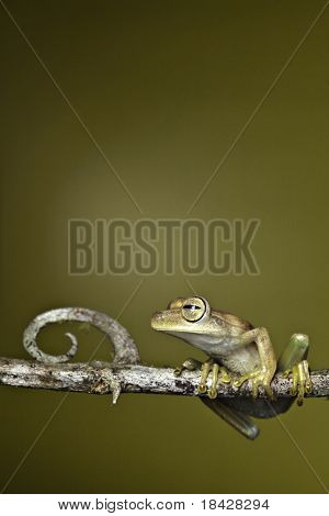 frog amphibian treefrog rainforest branch tropical rain forest tree frog exotic night animal of amazon jungle copy space background