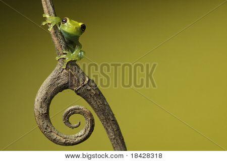 grünen Laubfrosch Amphibien Treefrog tropischen Amazonas Regenwald Zweig Kopie Raum Hintergrund Zweig mit