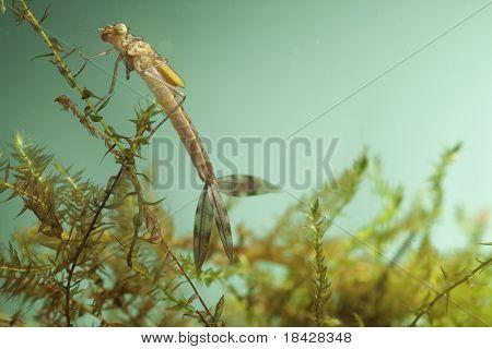 insecto submarino de caballitos del diablo larvas viven en libélula juvenil de estanques de agua dulce cerca de fondo