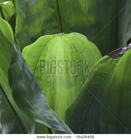 tropical leaf green background texture with copy space veins rain forest palm tree close-up jungle