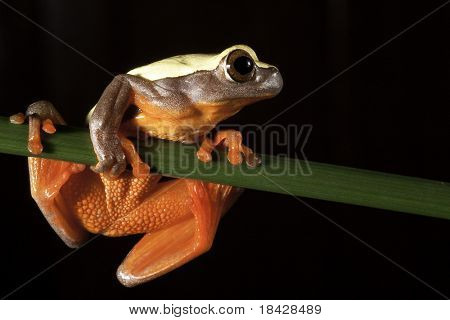 red eyed tree frog big eyes sitting on twig night amazon rain forest exotic beautiful colorful nocturnal animal with bright colors branch black background copy space jungle animal endangered species