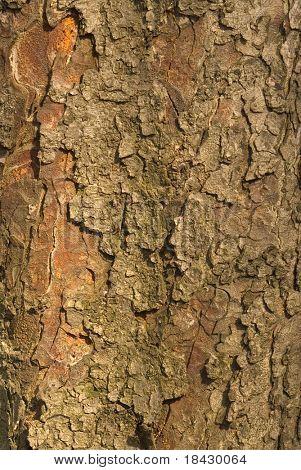 Castanea sativa is latin name of the Bark.