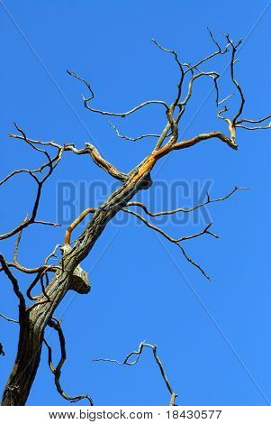 Dead, dry tree on the clear blue sky background.