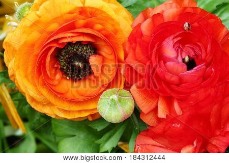 Top view of Yellow and orange Buttercup or Ranunculus flowers