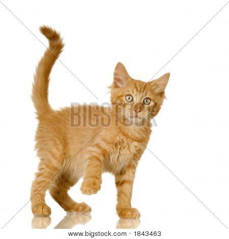 Ingwer Katze Kätzchen