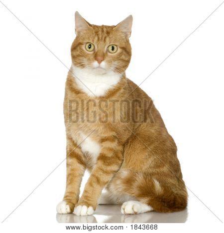 Ginger Cat Kitten (4 Years)