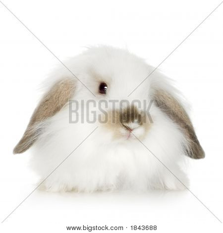 Lion Headed Lop Rabbit (8 Weeks)
