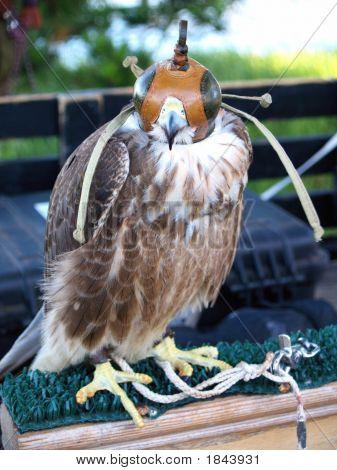 Hawk At Rest