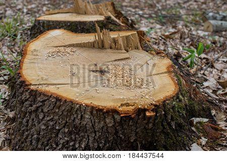 Fresh stump of a very large oak tree.