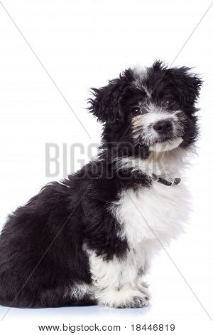 Black And White Havanese Bichon Sitting