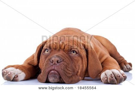 Cute French Mastiff