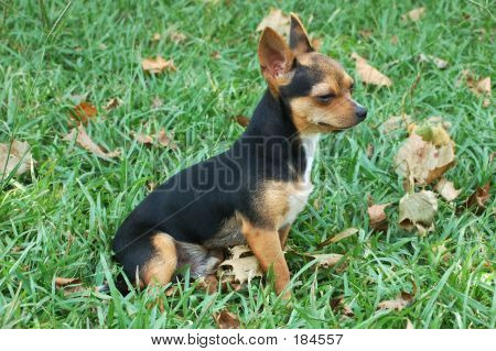 Chihuahua In The Grass