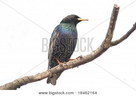 European Starling (Sturnus vulgaris) on a branch with a blue background