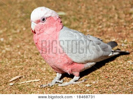 Pink and grey parrot walking on grass