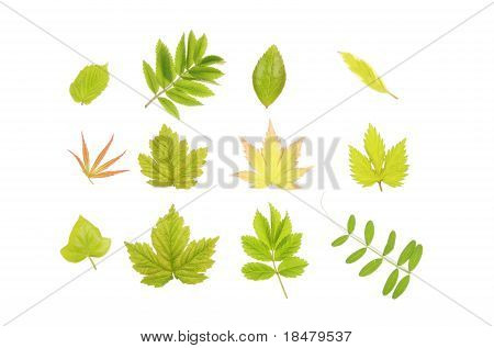 Group Of Fresh Spring Leaves