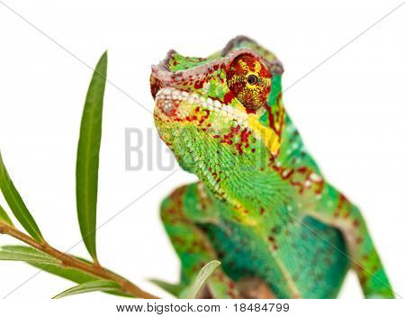 Colorful male chameleon on plant isolated on white background