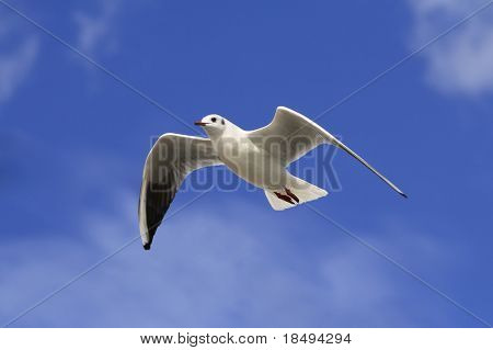 White bird soaring in the blue sky with patches of cloud.