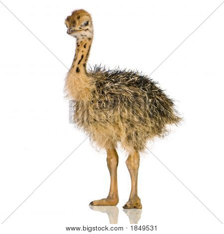 Polluelo de avestruz