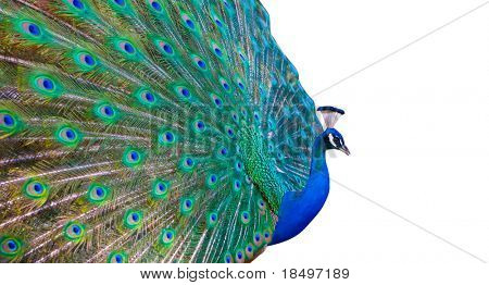 Bright colored peacock with white copy space