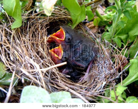 Hungry Baby Birds
