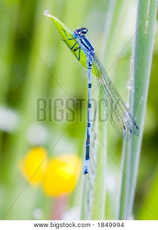 Donzela azul