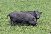 picture of pot bellied pig  - pot - JPG