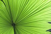 tropical leaf green background texture with copy space veins rainforest palm tree close-up jungle