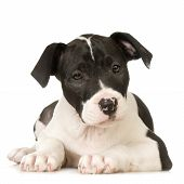 foto of pit-bull  - American Staffordshire terrier sitting in front of a white background - JPG