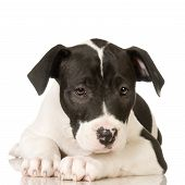 stock photo of pit-bull  - American Staffordshire terrier sitting in front of a white background - JPG