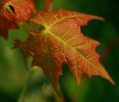 image of maple syrup  - Sugar Maple sapling - JPG