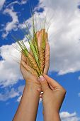 stock photo of gleaning  - Woman holding wheat crop agains bright blue sky  - JPG