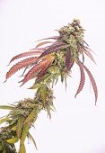 Detail of cannabis cola (Mangopuff marijuana strain) with visible hairs and leaves on late flowering poster