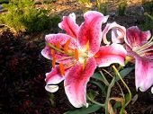 stock photo of asiatic lily  - asiatic lily from side - JPG
