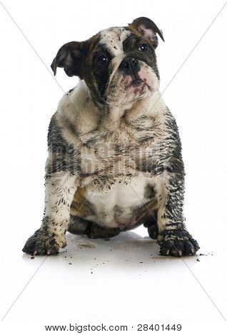 dirty dog - muddy english bulldog puppy sitting on white background