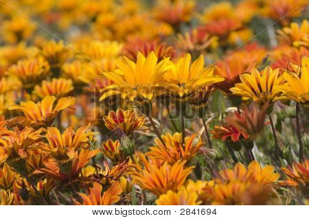 Orange Daisies In The Sun