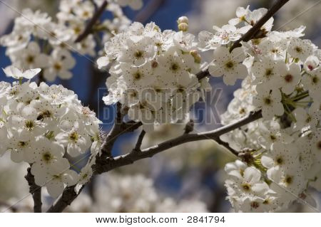 Callery Pear Spring Blossoms