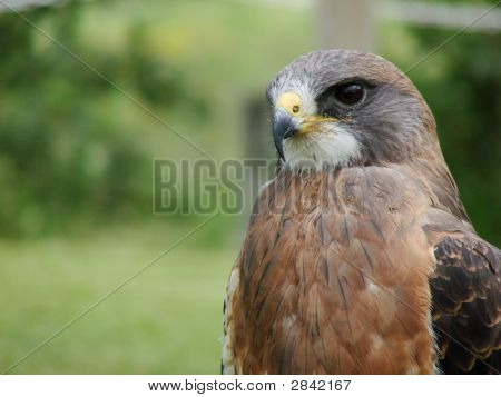 Swainson'S Hawk (Buteo Swainsoni) W/Room For Text
